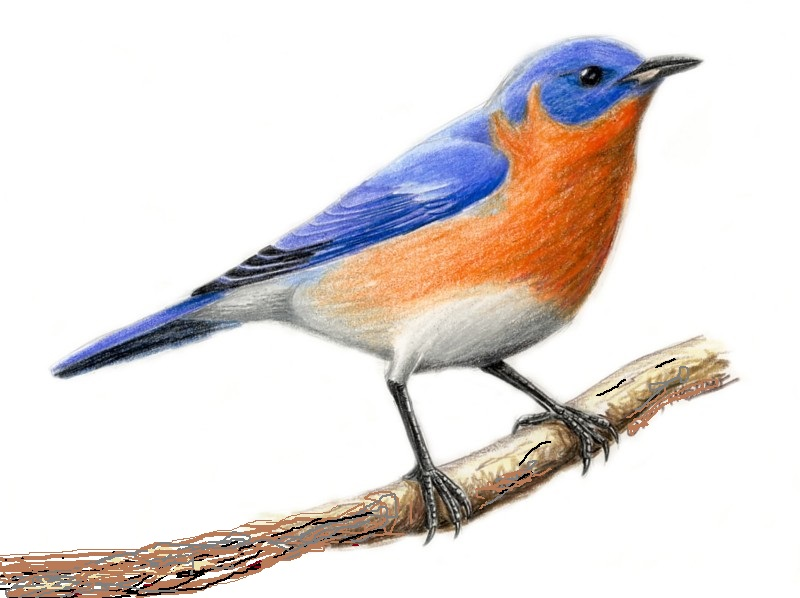 New York's State Bird is the Eastern Bluebird
